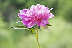 Una peonía rosada con las hojas Foto de archivo libre de regalías