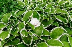 Una peonia bianca che riposa su una hosta variegata Fotografia Stock Libera da Diritti