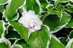 Una peonia bianca che riposa su una hosta variegata Fotografie Stock