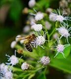 Una pequeña abeja fotos de archivo libres de regalías