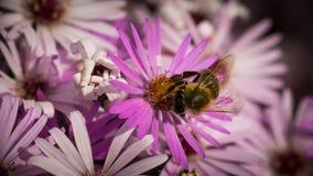 Una pequeña abeja dulce en mi jardín Foto de archivo