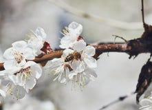 Una pequeña abeja en el flor de un manzano Fotos de archivo