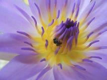 Una pequeña abeja en una flor Foto de archivo libre de regalías