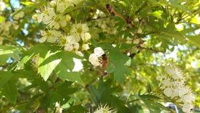 Una pequeña abeja en una flor blanca Imágenes de archivo libres de regalías