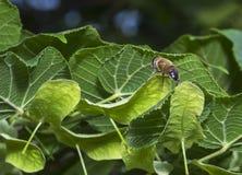 Una pequeña abeja en una hoja Fotografía de archivo
