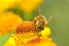 Una pequeña abeja en la flor amarilla Imagen de archivo