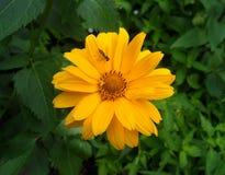 Una pequeña abeja en una flor anaranjada brillante floreciente del color Fotos de archivo