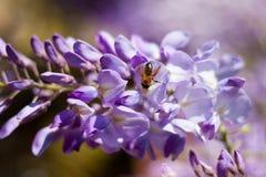Una pequeña abeja que descansa sobre una flor de la glicinia Fotografía de archivo libre de regalías