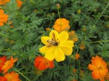 Una pequeña abeja que recoge el néctar en una flor floreciente amarilla vibrante del cosmos Imagen de archivo