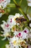 Una pequeña abeja recoge el néctar imagenes de archivo