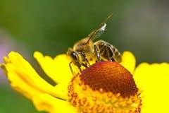 Una pequeña abeja recoge el néctar en la flor amarilla Fotografía de archivo