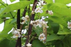 Una pequeña abeja recoge el néctar en las flores blancas Fotografía de archivo