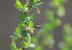 Una pequeña abeja vuela alrededor de la pasa Bush en pollin temprano de la primavera Foto de archivo libre de regalías