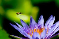 Una pequeña abeja vuela para encontrar netar del polen del loto Fotografía de archivo libre de regalías
