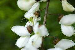 Una pequeña araña se sienta en una flor blanca del acacia imagen de archivo