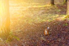 Una pequeña ardilla anaranjada presenta en el parque en los rayos del sol poniente imágenes de archivo libres de regalías