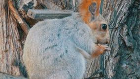 Una pequeña ardilla gris con una cola roja y los oídos come nueces en un cierre de madera del fondo encima de la visión metrajes