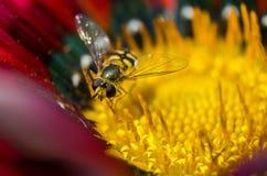 Una pequeña avispa en una flor Imagen de archivo