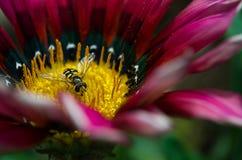 Una pequeña avispa en una flor Fotos de archivo