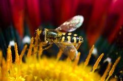 Una pequeña avispa en una flor Imagenes de archivo