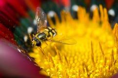 Una pequeña avispa en una flor Foto de archivo libre de regalías