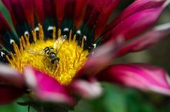 Una pequeña avispa en una flor Fotos de archivo libres de regalías