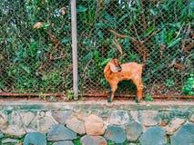Una pequeña cabra marrón Imagen de archivo