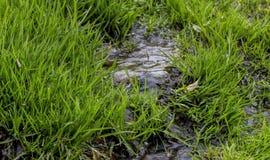 Una pequeña corriente, la hierba verde joven Imágenes de archivo libres de regalías