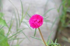 Una pequeña flor agradable en color magenta Foto de archivo libre de regalías