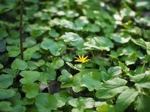 Una pequeña flor amarilla sola imágenes de archivo libres de regalías