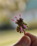 Una pequeña flor coloreada rosado-púrpura que es sostenida en una mano Fotografía de archivo