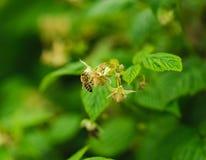 Una pequeña flor de la polinización de la abeja en el bastón de la frambuesa Foto de archivo