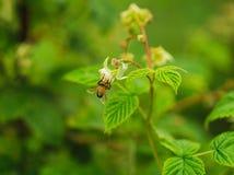 Una pequeña flor de la polinización de la abeja en el bastón de la frambuesa Imagen de archivo libre de regalías