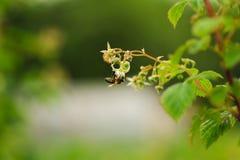 Una pequeña flor de la polinización de la abeja en el bastón de la frambuesa Fotografía de archivo libre de regalías
