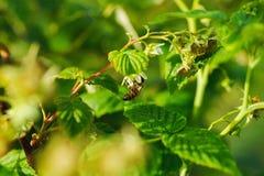 Una pequeña flor de la polinización de la abeja en el bastón de la frambuesa Imagen de archivo