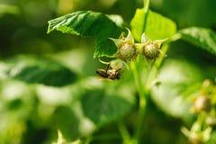 Una pequeña flor de la polinización de la abeja en el bastón de la frambuesa Imagenes de archivo