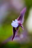 Una pequeña flor púrpura de la hierba Imagen de archivo libre de regalías