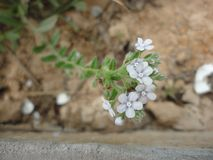 Una pequeña flor preciosa imágenes de archivo libres de regalías