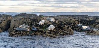 Una pequeña isla de la roca con la reclinación de los sellos blancos y grises foto de archivo libre de regalías