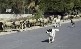 Una pequeña manada de cabras y de ovejas está en el camino Foto de archivo libre de regalías