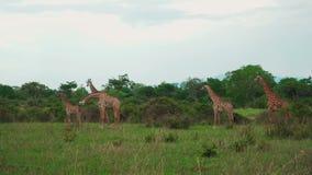 Una pequeña manada de jirafas camina a través de la sabana africana y alimenta almacen de video