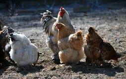 Una pequeña manada de pollos y de un gallo Fotografía de archivo libre de regalías