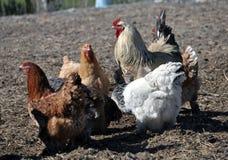 Una pequeña manada de pollos y de un gallo Fotografía de archivo