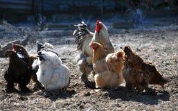 Una pequeña manada de pollos y de un gallo Foto de archivo libre de regalías