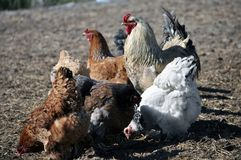Una pequeña manada de pollos y de un gallo Fotos de archivo libres de regalías