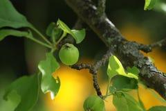 Una pequeña manzana adentro puede Foto de archivo