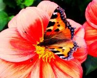 Una pequeña mariposa de concha se encaramó en una dalia coral-coloreada Fotos de archivo