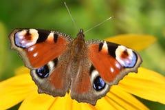 Una pequeña mariposa de pavo real con un modelo hermoso en las alas imagen de archivo