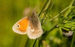 Una pequeña mariposa del brezo que se sienta en una arveja Imágenes de archivo libres de regalías