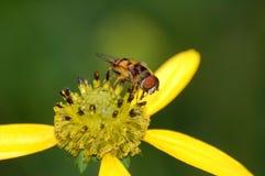 Una pequeña mosca en una flor amarilla imagen de archivo